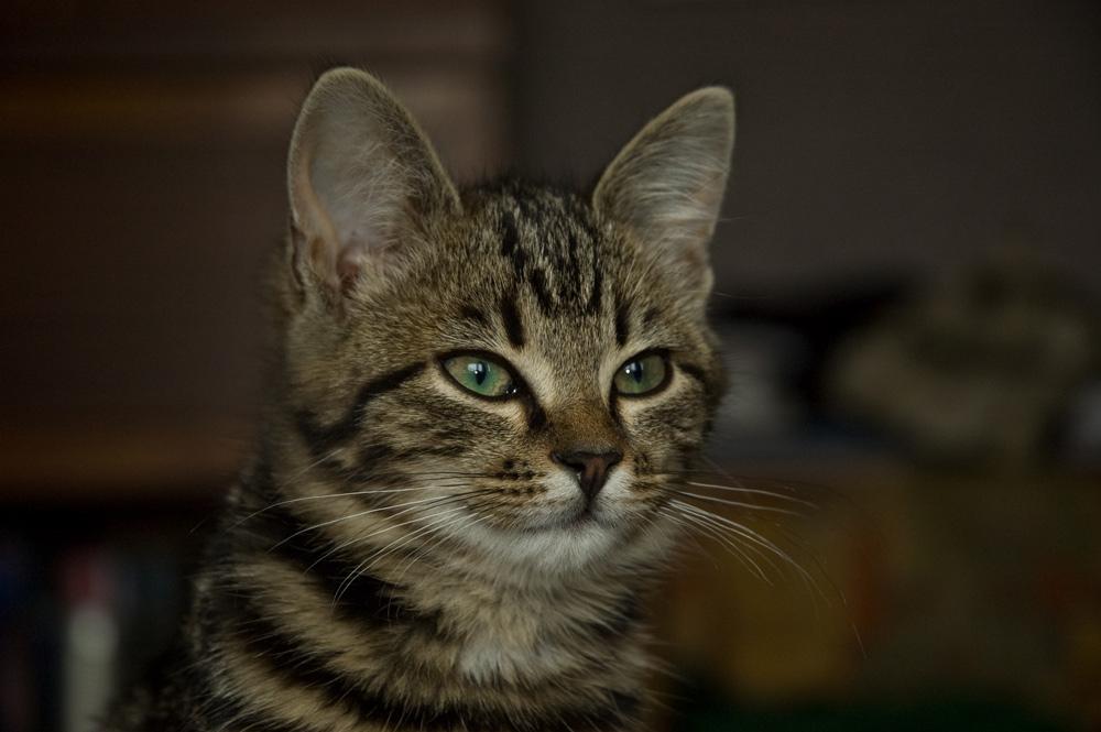 Silkė iš kačių giminės